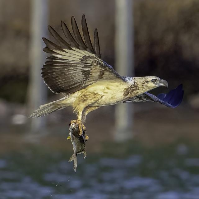 """Juvenile white bellied sea eagle got a big fish"" stock image"