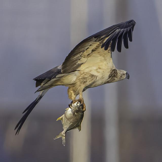 """Juvi white bellied sea eagle caught a pomfret"" stock image"