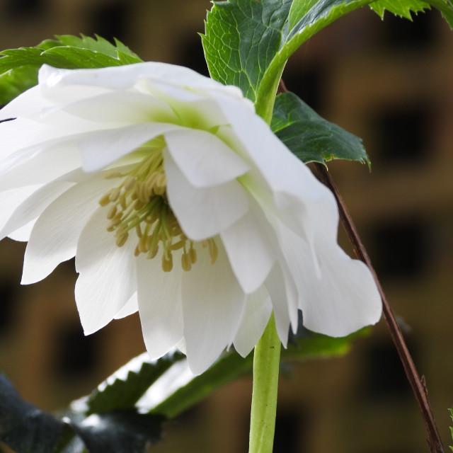 """""""White Lenten Rose"""" stock image"""