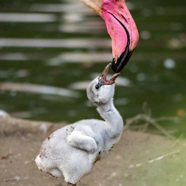 """Greater flamingo mother feeds a little bird"" stock image"