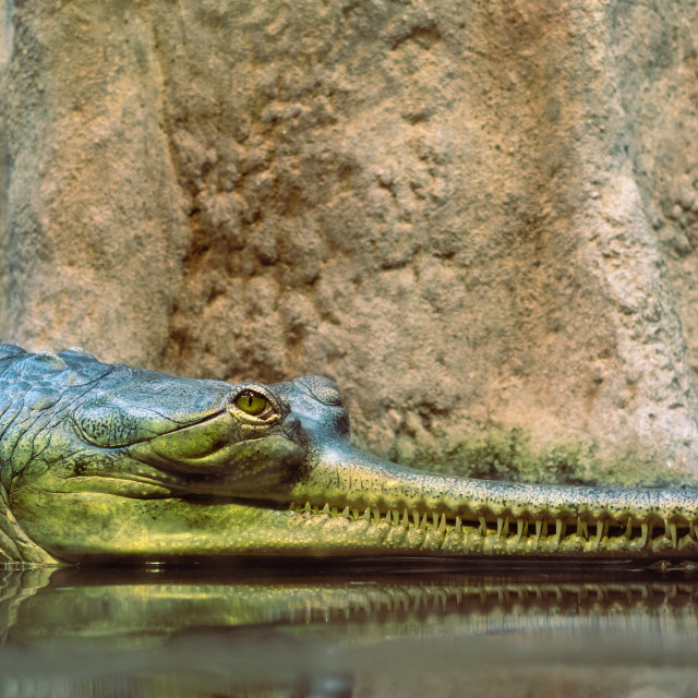 """Gharial also called as fish-eating crocodile"" stock image"