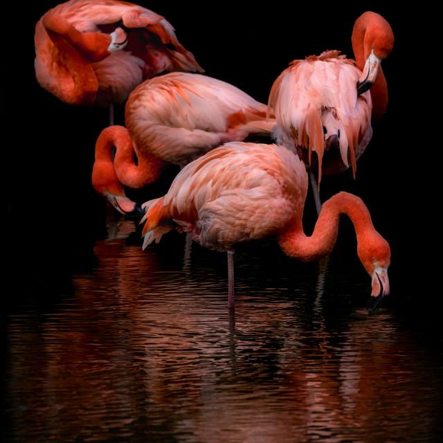 """Flamboyant Flamingos"" stock image"