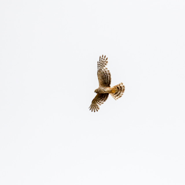 """Hen Harrier"" stock image"