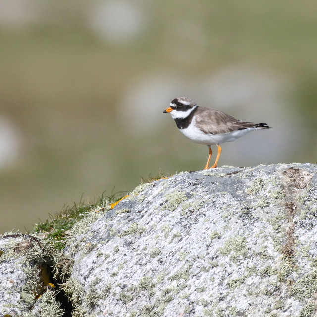"""""""Ringed Plover"""" stock image"""