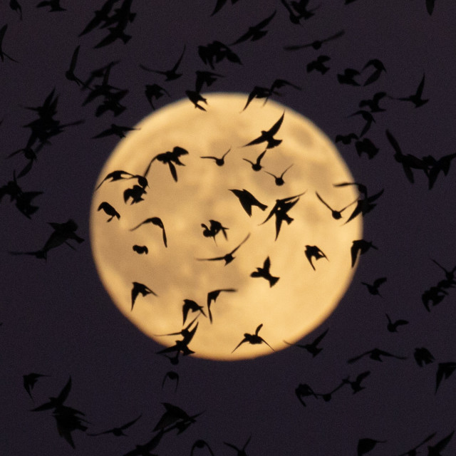 """Starlings at full moon"" stock image"