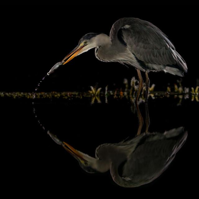 """Heron Night Fishing"" stock image"