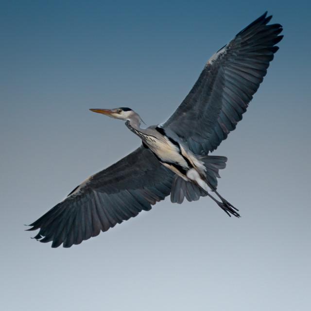 """The Gray Heron"" stock image"