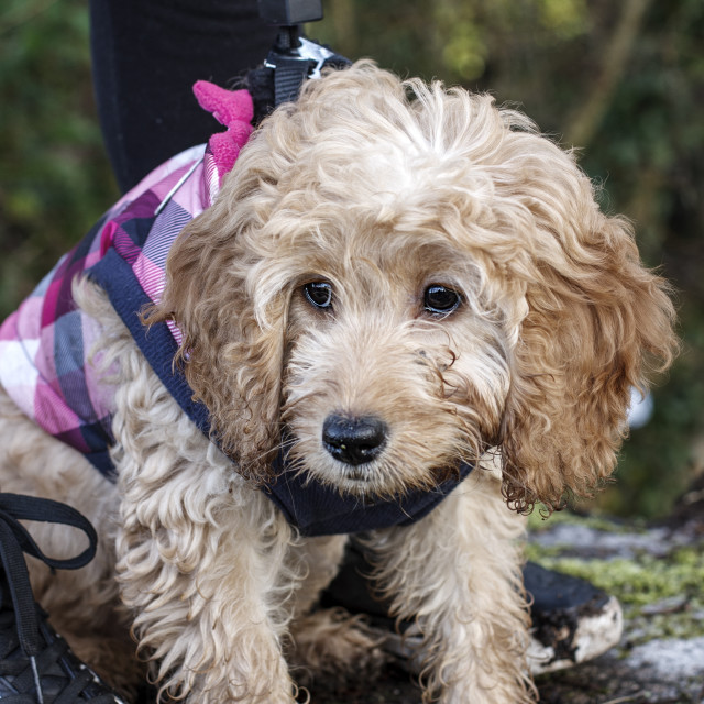 """""""young cockapoo"""" stock image"""