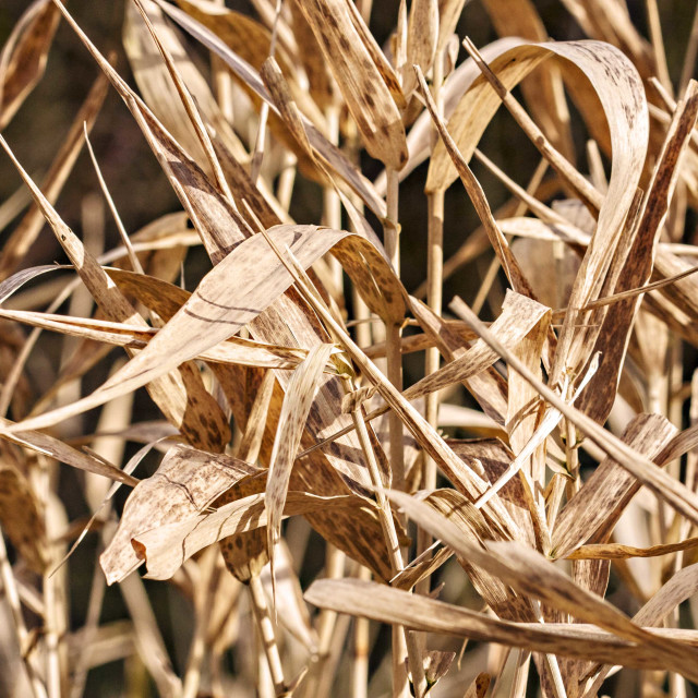 """""""Dried reeds"""" stock image"""