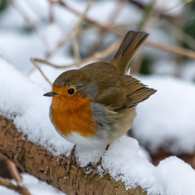 """""""Robin in the Snow"""" stock image"""
