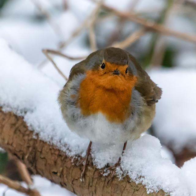 """The Grumpy Robin"" stock image"