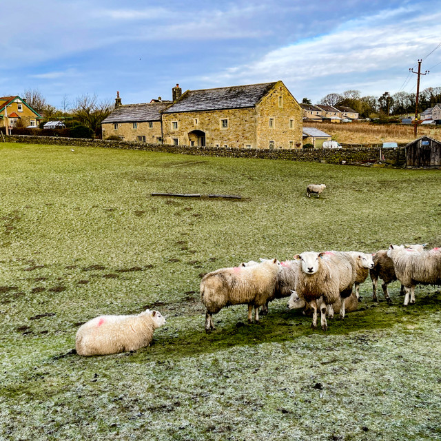 """Sheep Flock on a Frosty Morning in a Silsden Field, Yorkshire."" stock image"