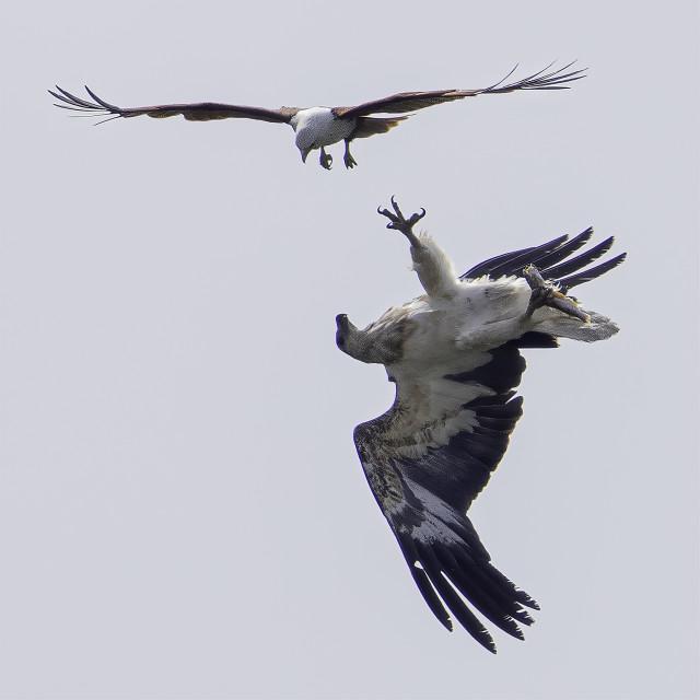 """Eagle fight"" stock image"