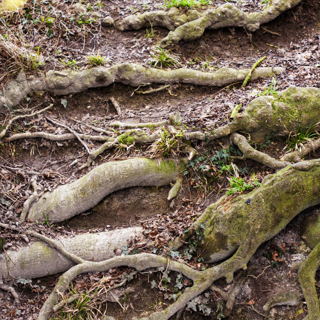 """""""Gnarled tree roots"""" stock image"""