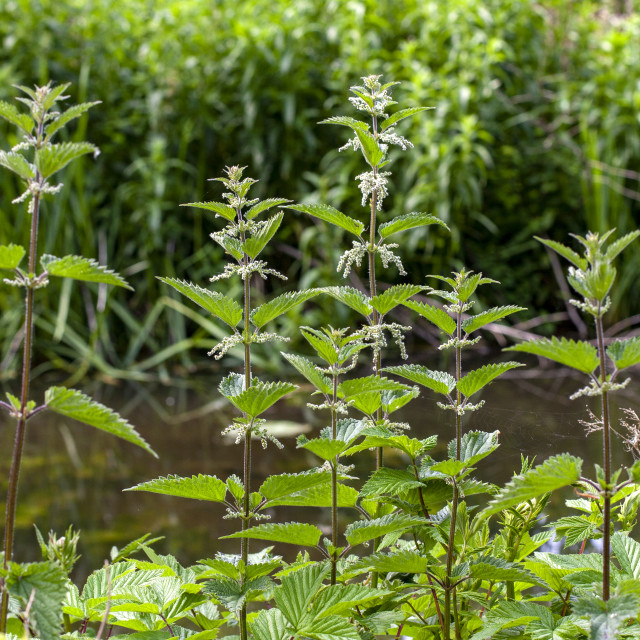 """""""Young nettles Anglesey Abbey"""" stock image"""