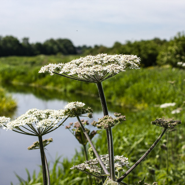 """Cow parsley (Anthriscus sylvestris)"" stock image"