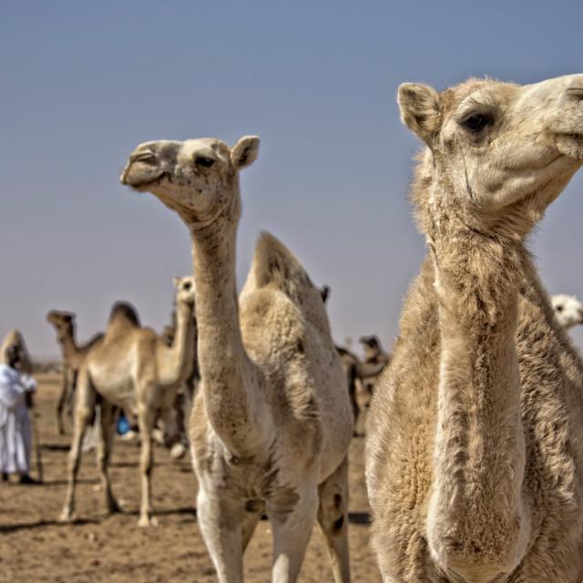 """Omdurman camel market, Sudan"" stock image"