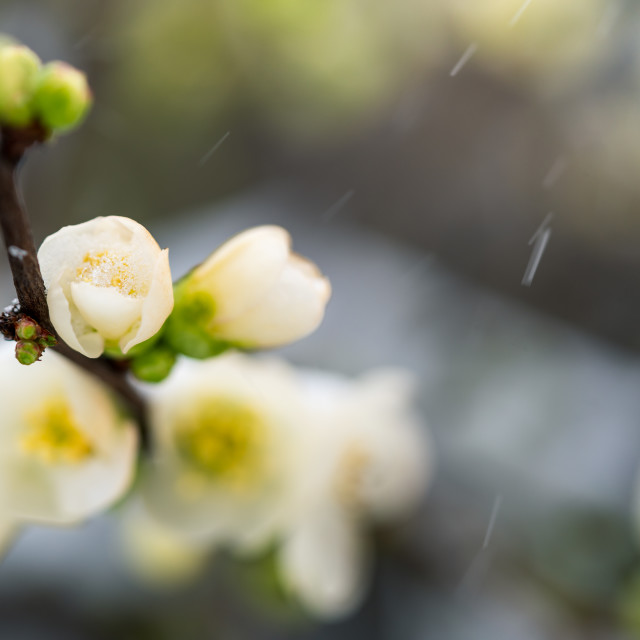 """""""Blossom in falling snow"""" stock image"""