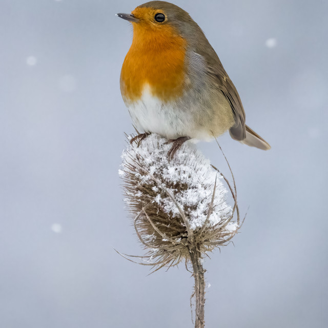 """Robin on a Teasel"" stock image"