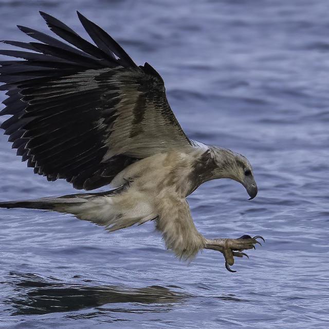 """Juvenile white bellied sea eagle dive"" stock image"