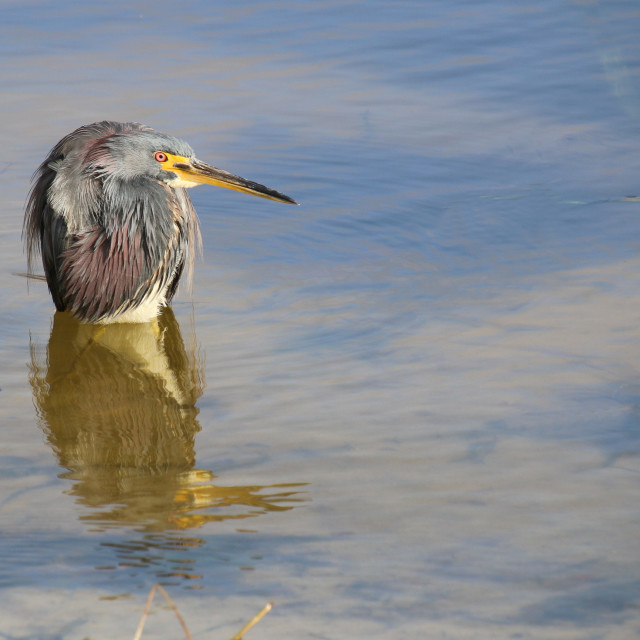 """THE GREAT BLUE HERRON PROFESSOR"" stock image"