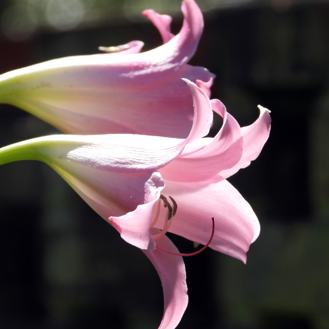 """Lavender Lilies, profile"" stock image"