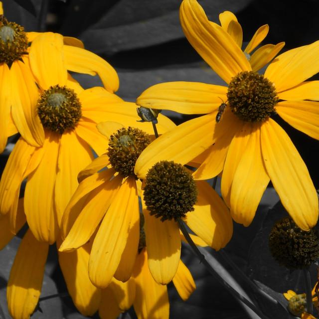 """Slash of Color, Yellow Daises"" stock image"