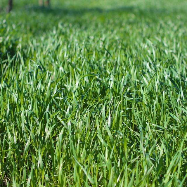 """Green grass"" stock image"