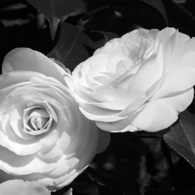 """""""Camellias, Black and White"""" stock image"""