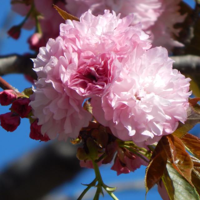 """Japanese Flowering Cherry Tree"" stock image"