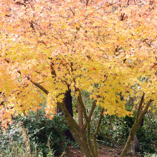 """""""Bright Yellow Tree Leaves"""" stock image"""