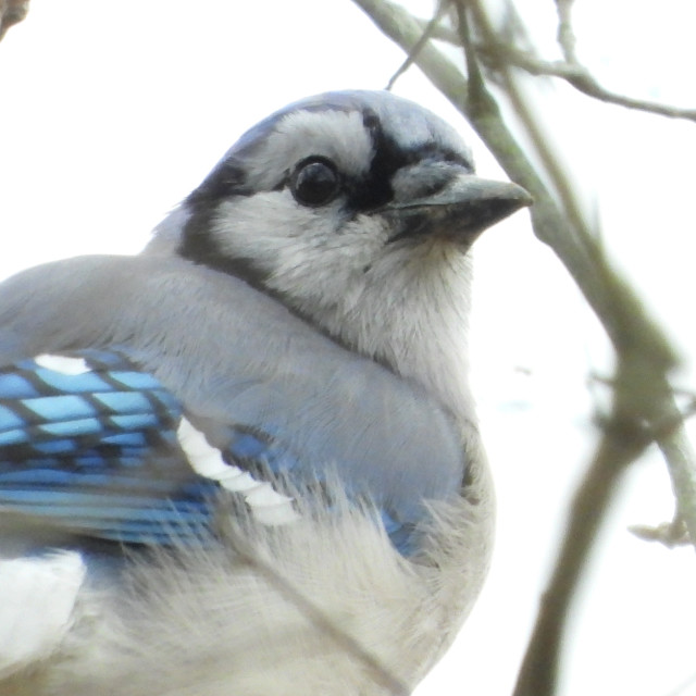 """""""Blue Jay with White Winter background"""" stock image"""