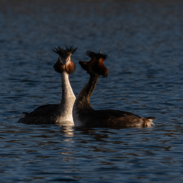 """""""Great Crested Grebe courtship dance"""" stock image"""