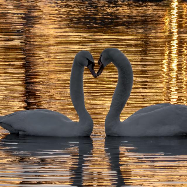 """Mute swan courtship"" stock image"