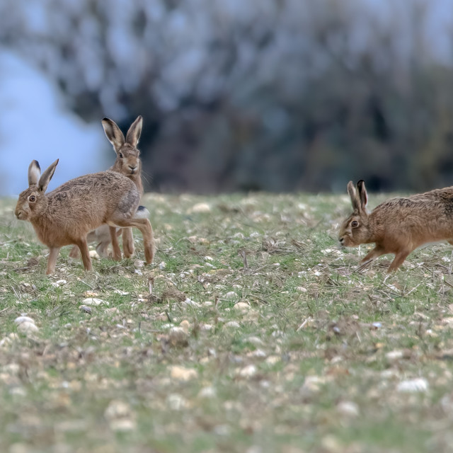 """""""Brown hares in field"""" stock image"""
