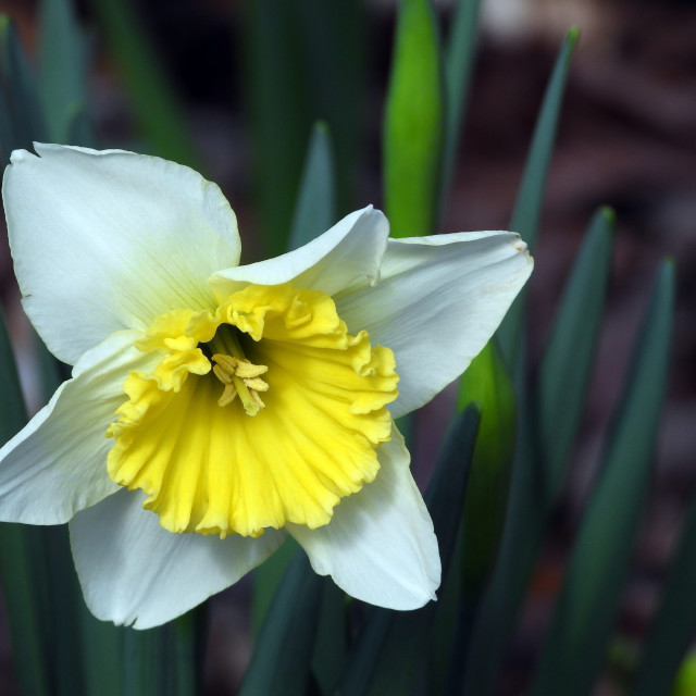 """""""White and Yellow Daffodil"""" stock image"""