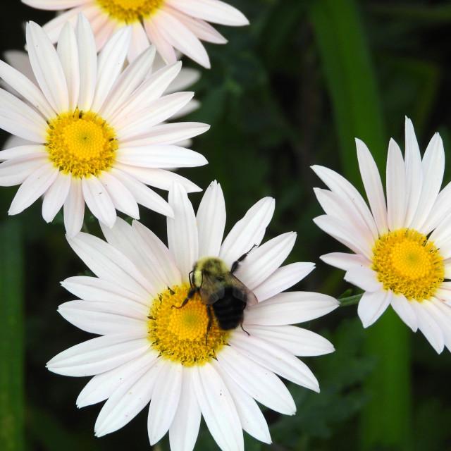 """Bee on White Daisies"" stock image"