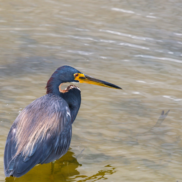 """Colorful Great Blue Herron wading In Canal"" stock image"