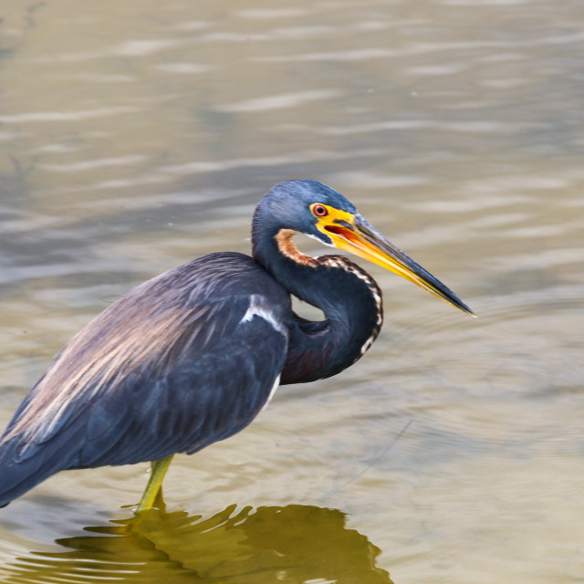 """A Focused Young Blue Herron Standing in Water"" stock image"