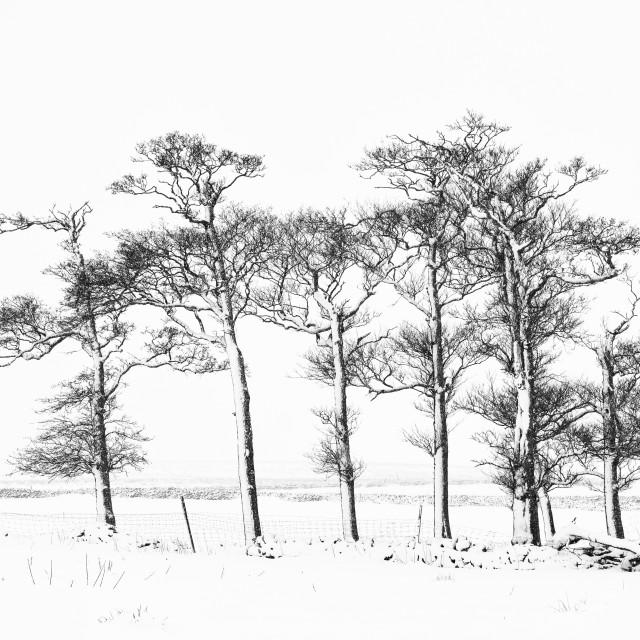 """Winter trees, Gilmonby"" stock image"