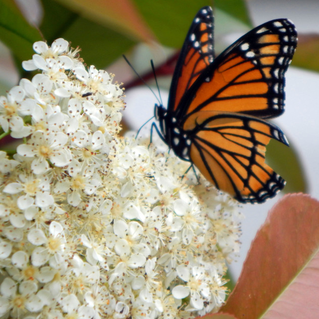 """""""Monarch Butterfly on White Flower"""" stock image"""