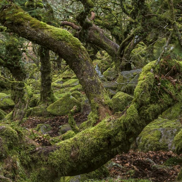 """Wistmans Wood"" stock image"