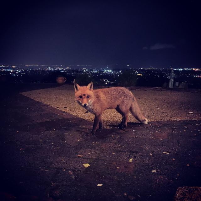 """The Night Fox"" stock image"