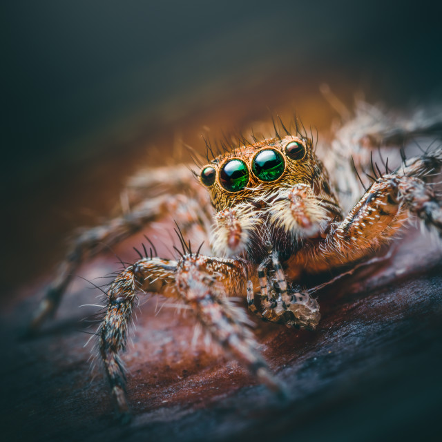 """Closeup of a Female Plexippus petersi Jumping Spider"" stock image"