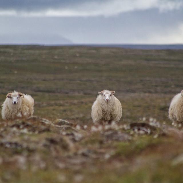 """3 Icelandic sheep's"" stock image"