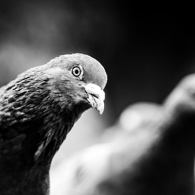"""Pigeons from Jesus Green, Cambridge UK."" stock image"