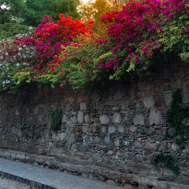 """""""Bougainvillea in San Miguel de Allende, Guanajuato, Mexico"""" stock image"""