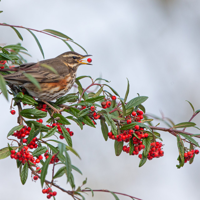 """Redwing feating on berries"" stock image"