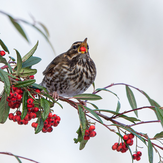 """Redwing eating berries"" stock image"