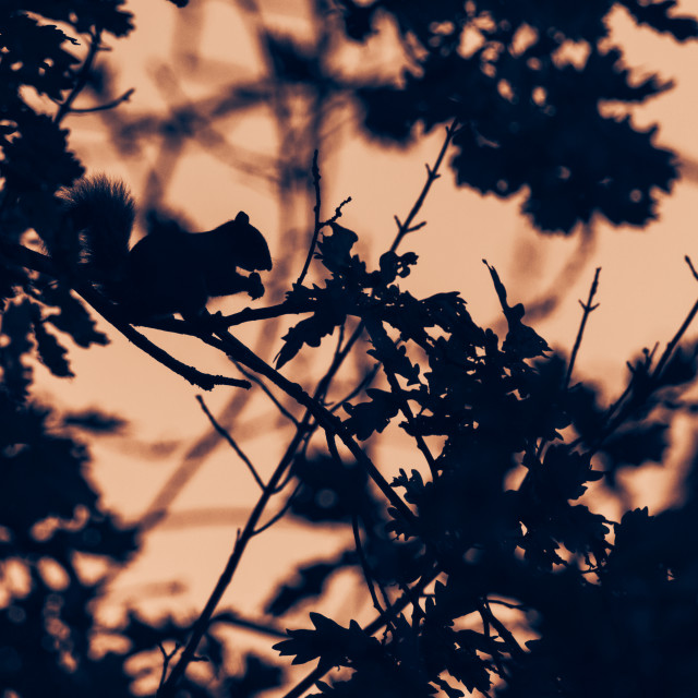 """""""Squirrel in the evening"""" stock image"""